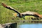 Eagle Owl - Leeds Castle (17254721162).jpg