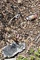Eastern Chipmunk (Tamias striatus) among Litter - Montreal, Quebec 2019-05-11.jpg