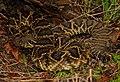Eastern Diamondback Rattlesnake (Crotalus adamanteus) (28361417689).jpg