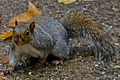 Eastern Gray Squirrel Philadelphia, PA.jpg