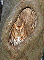 Eastern Screech Owl-red-phase.jpg