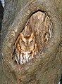 Eastern Screech Owl-red-phase.jpg