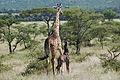 Eastern Serengeti 2012 06 01 3296 (7522728688).jpg