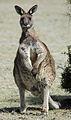 Eastern grey kangaroo maria island.jpg