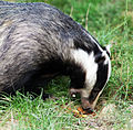 Eating badger.jpg