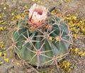 Echinocactus texensis 2.jpg