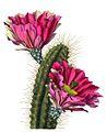 Echinocereus fendleri BlKakteenT143.jpg