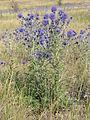 Echinops ruthenicus (in habitat) 4.jpg