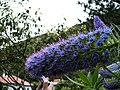 Echium candicans02.jpg