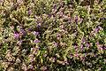 Echium plantagineum - Tenerife 01.jpg