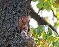 Eichhörnchen (Sciurus vulgaris) Konstantinhügel Wiener Prater 2020-07-12 f.jpg