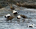 Eider Ducks - geograph.org.uk - 400931.jpg
