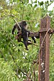 Electrocuted lion-tailed macaque infant in Valparai DSC 2557.jpg