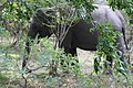 Elephants by the roadside (7568243716).jpg