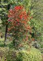 Embothrium tree.jpg