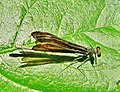En repos sur une feuille...Resting on a leaf... - panoramio.jpg
