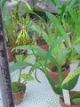 Encyclia cochleata0.jpg