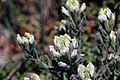 Endangered salt marsh bird's beak in Orange County (34120441796).jpg