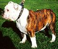 English Bulldog Brindle and white.jpg