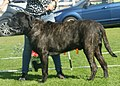 English Mastiff brindle male 1.jpg