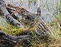 Enkelbeckasin Common Snipe (20350471115).jpg