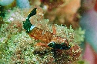 <i>Enneapterygius rufopileus</i> species of fish