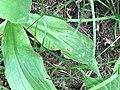 Entyloma arnicale.jpg