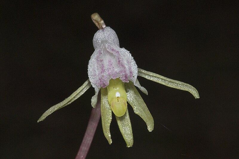 File:Epipogium aphyllum-003.jpg