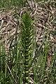 Equisetum telmateia - img 37998.jpg