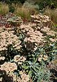 Eriogonum giganteum kz4.jpg