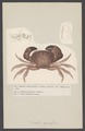 Eriphia spinifrons - - Print - Iconographia Zoologica - Special Collections University of Amsterdam - UBAINV0274 006 01 0039.tif