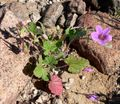 Erodium texanum 1.jpg