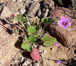 Erodium texanum