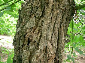 Erythrina crista-galli6.jpg