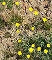 Eschscholzia minutiflora 2.jpg