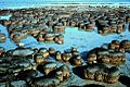 Estos son lo estromatolitos.jpg