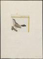Estrilda erythrophthalma - 1700-1880 - Print - Iconographia Zoologica - Special Collections University of Amsterdam - UBA01 IZ15900127.tif