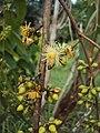 Eucalyptus camaldulensis 07.JPG