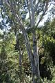 Eucalyptus camaldulensis kz2.jpg