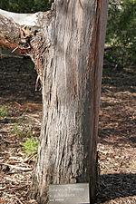Eucalyptus cinera x pulverulenta.jpg
