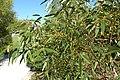 Eucalyptus oleosa - Jardín Botánico de Barcelona - Barcelona, Spain - DSC08984.JPG