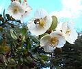 Eucryphia cordifolia (8624425307).jpg