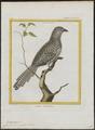 Eudynamys horonata - 1700-1880 - Print - Iconographia Zoologica - Special Collections University of Amsterdam - UBA01 IZ18800313.tif
