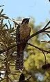 Eudynamys scolopacus -Australia-8.jpg