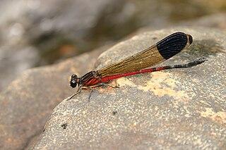 <i>Euphaea dispar</i> species of insect