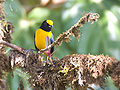 Euphonia xanthogaster.jpg