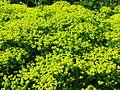 Euphorbia cyparissias flowering 04.JPG
