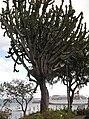 Euphorbia ingens - Madeira 3.jpg