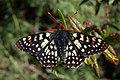 Euphydryas chalcedona chalcedona-Male-5.jpg