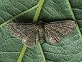 Eupithecia sp. (41351060992).jpg